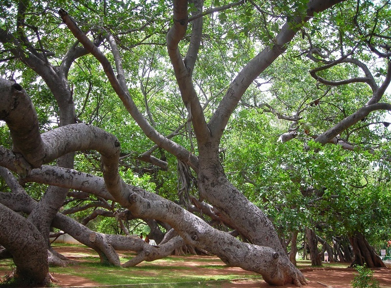 Pillalamarri / Big Banyan Tree