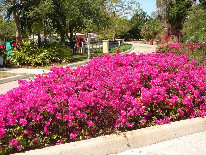 Image result for Bougainvillea garden