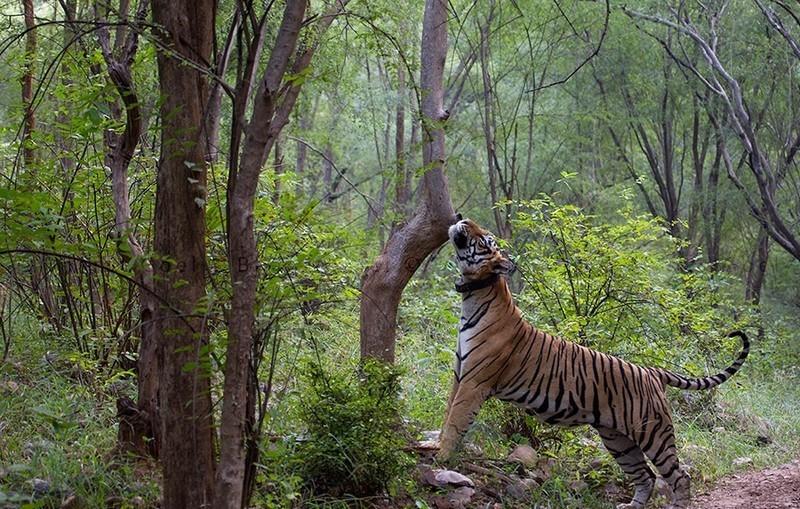 Sariska Tiger Reserve Sariska National Park Alwar